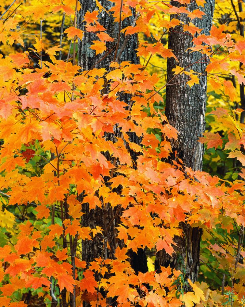 Fall leaves and tree trunks