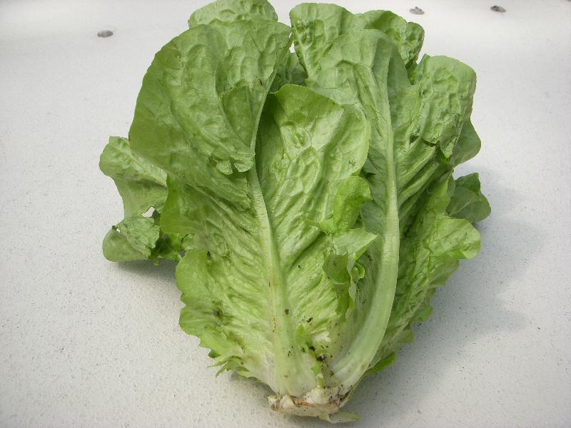 jericho romaine lettuce