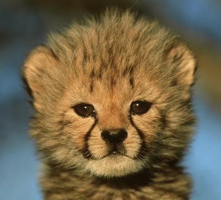 Cheetah Pup