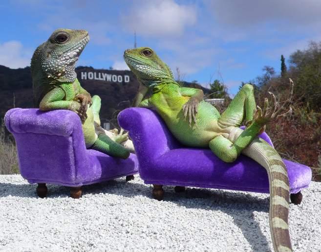 Iguanas on Couches