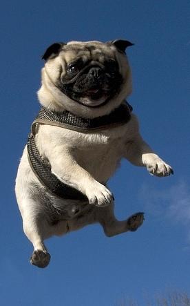Happy Airborne Pug