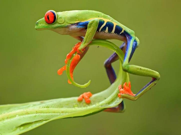 Red Eyed Tree Frogs on emaze