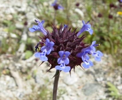 Chia Flower