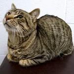OAS cat Nikolai