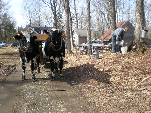 Emptying the sap buckets while the oxen wait