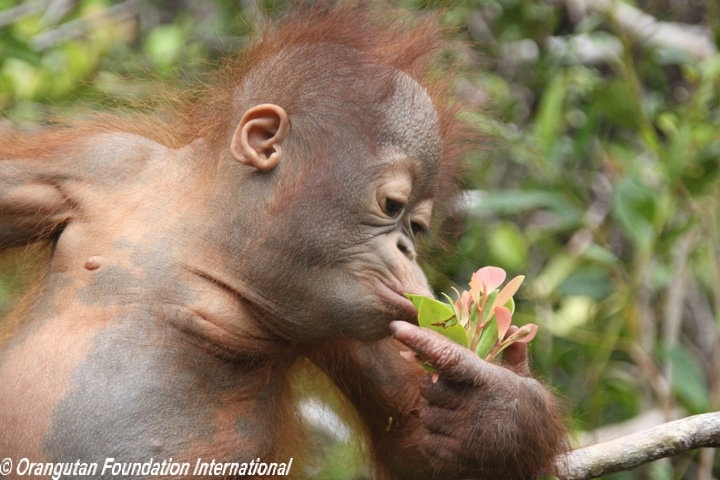 Baby orangutan smelling flower