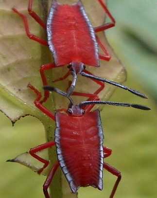 Two red insects