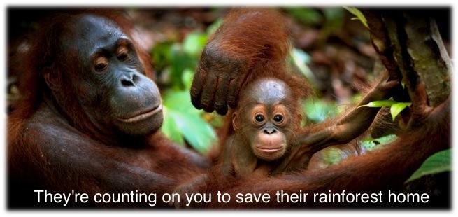 Mother with baby orangutan