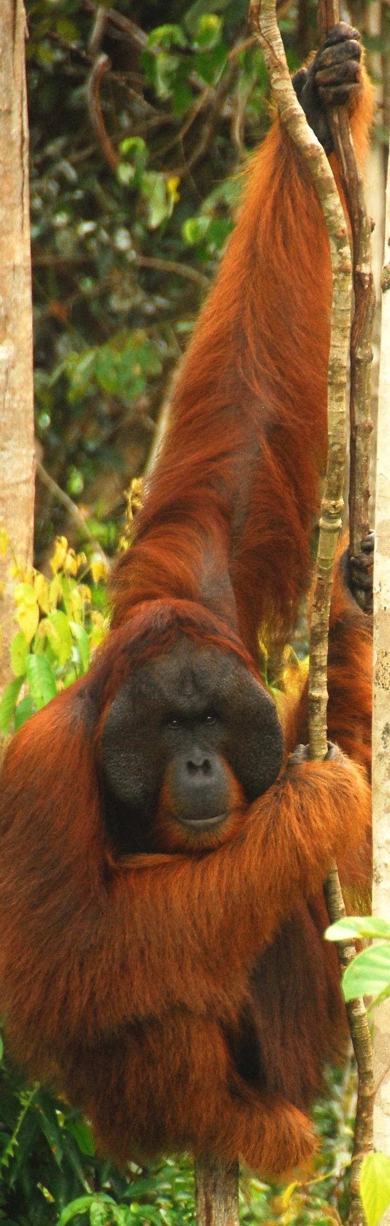Large, male orangutan