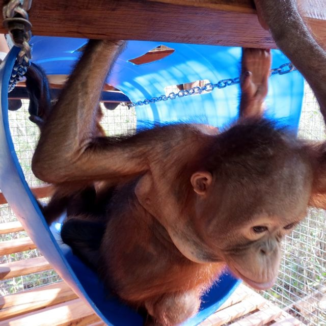 Orangutan plays in barrel