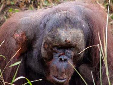 Beaten Orangutan