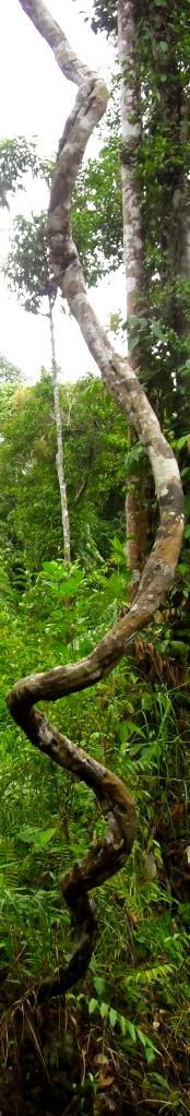 Forest vine