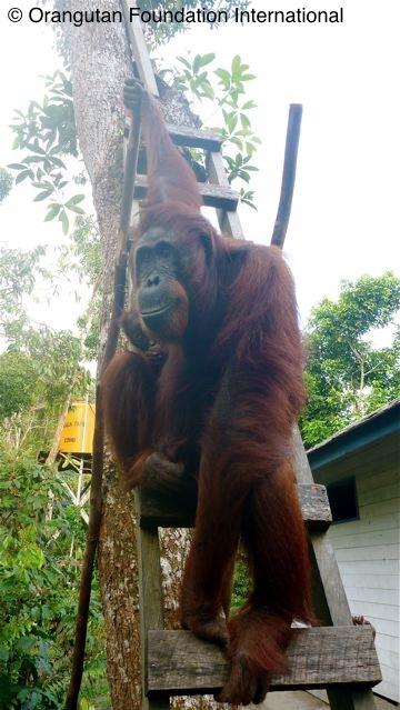 Tutut making a visit to Camp Leakey.