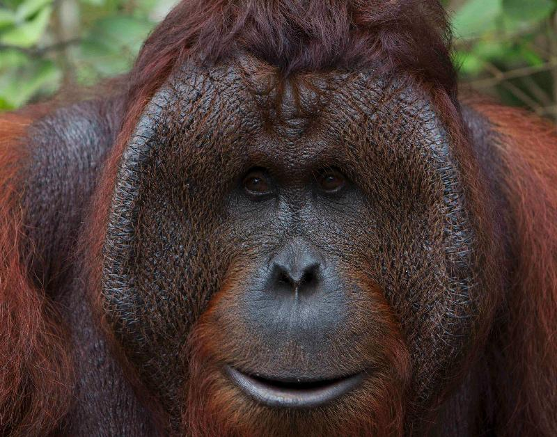 Large male orangutan