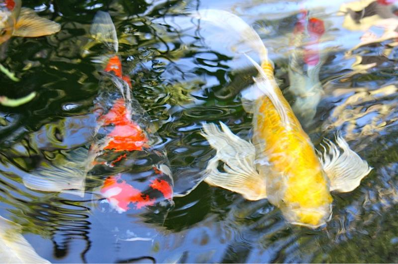 August 3 2012 follow us on twitter to win microbe lift for Koi pond kh level