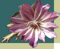 The Montana bitterroot flower