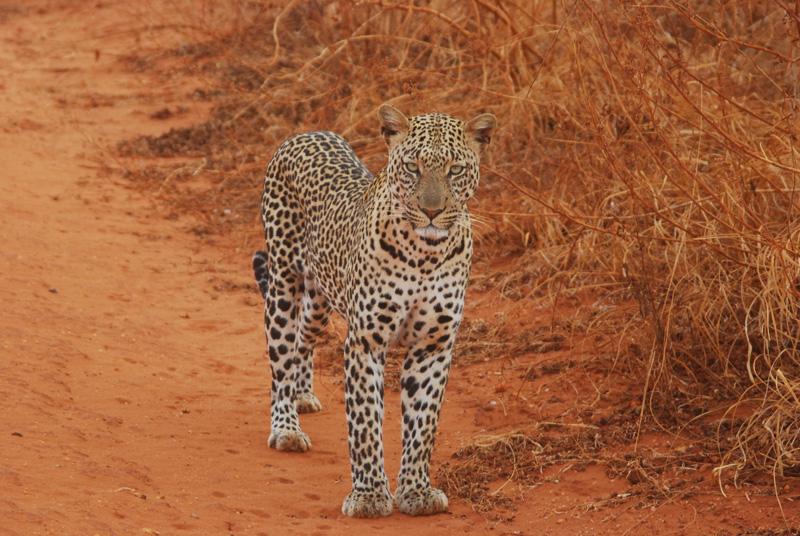 leopard best