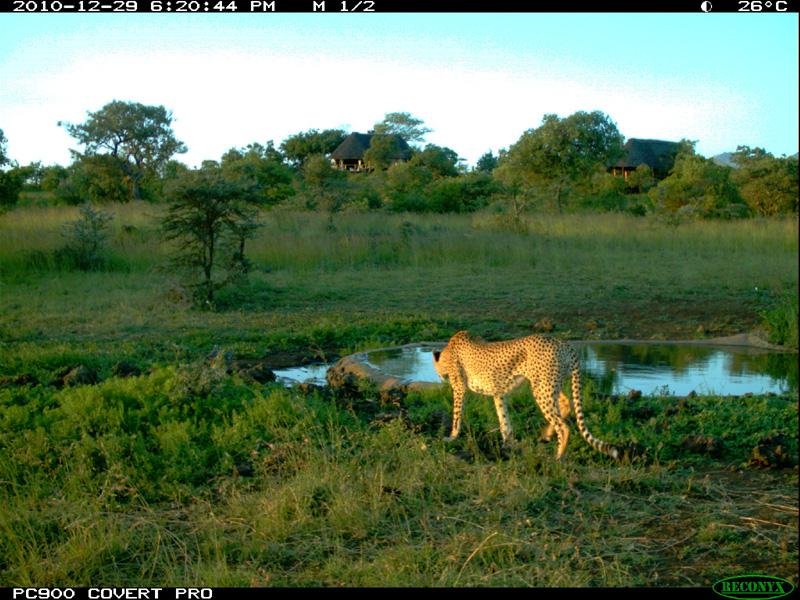Cheetah at waterhole