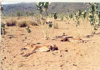 Drought in Kenya 1