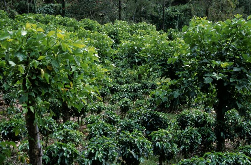 agroforestry - shaded coffee