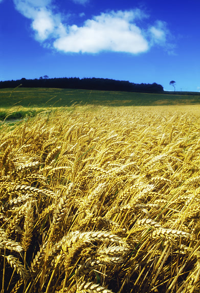 wheat_field.jpg