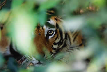 tigerpeek