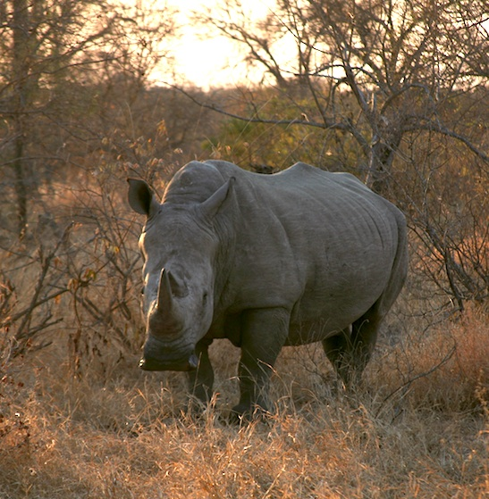 Rhino South Africa courtesy Elephant Action League