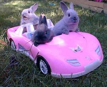 bunnies in pink car