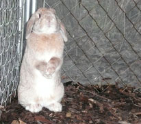 golden lop male - unnamed
