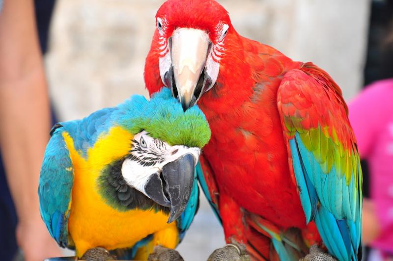 parrots_couple_love.jpg
