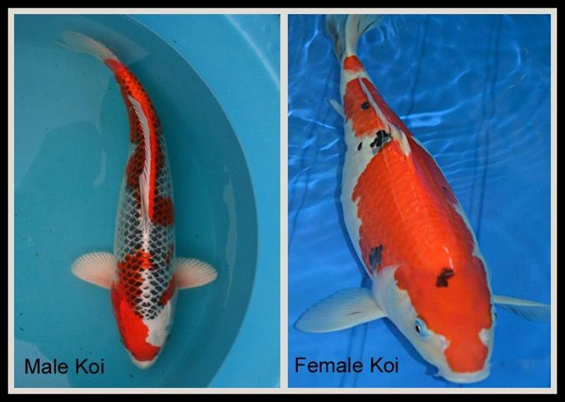 male and female koi