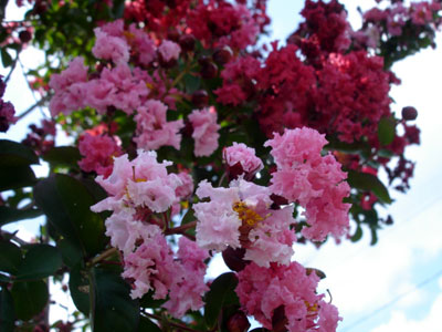 crepemyrtle-1