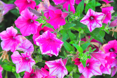 Rose and Petunia Damage from Thrips, Diagnose and Cure