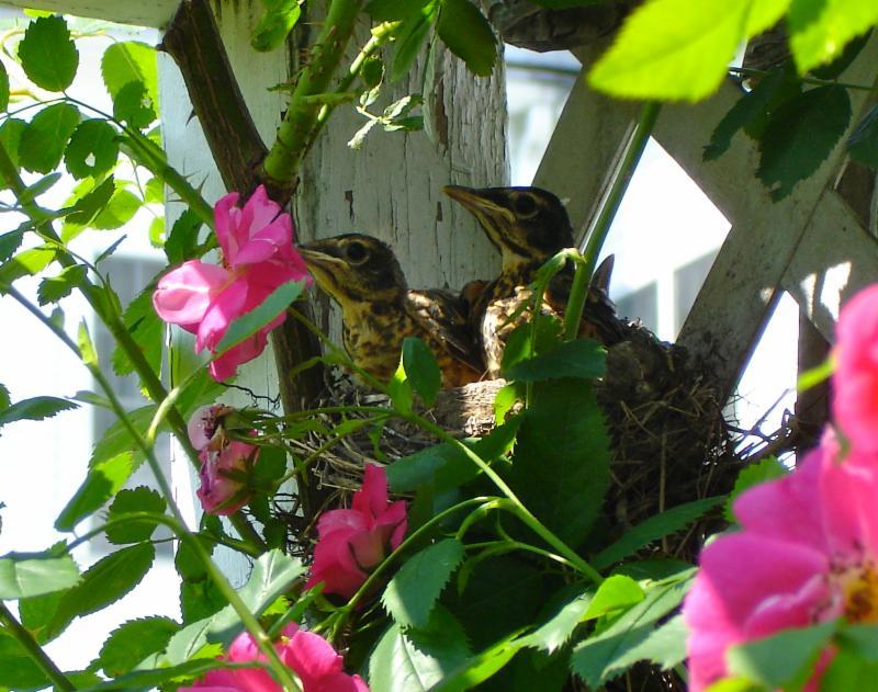 Baby robins in garden