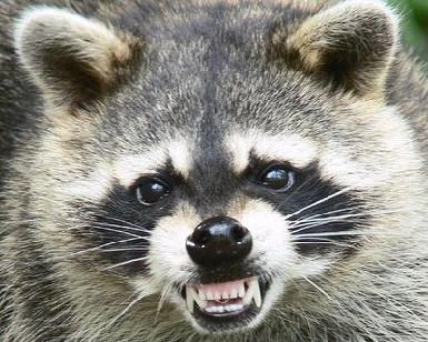 GD raccoon