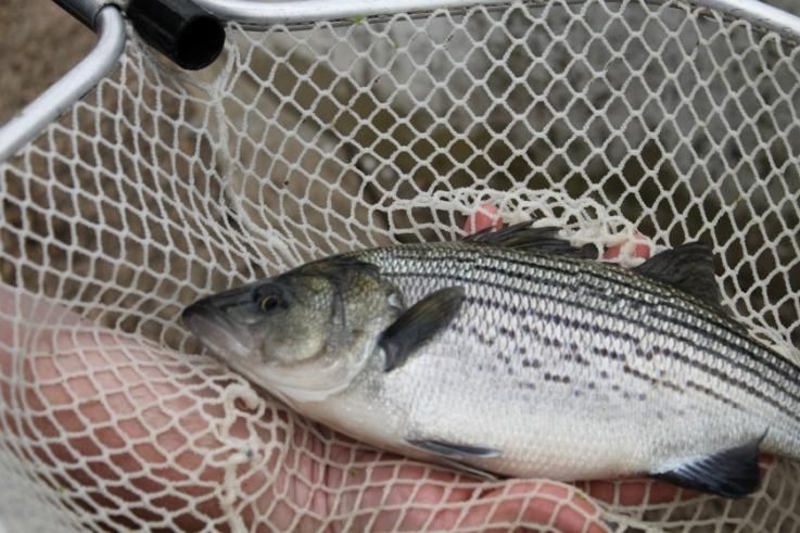 Hybrid stripped Bass