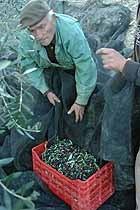 Olive harvest2