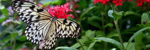 Black and white butterfly sitting on a pink flower.
