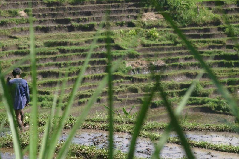 man in rice field 3