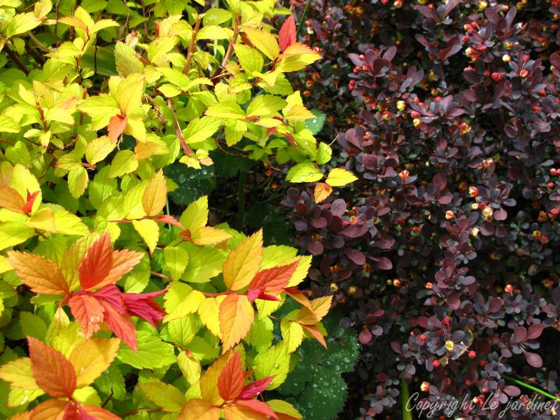 Spiraea and barberry