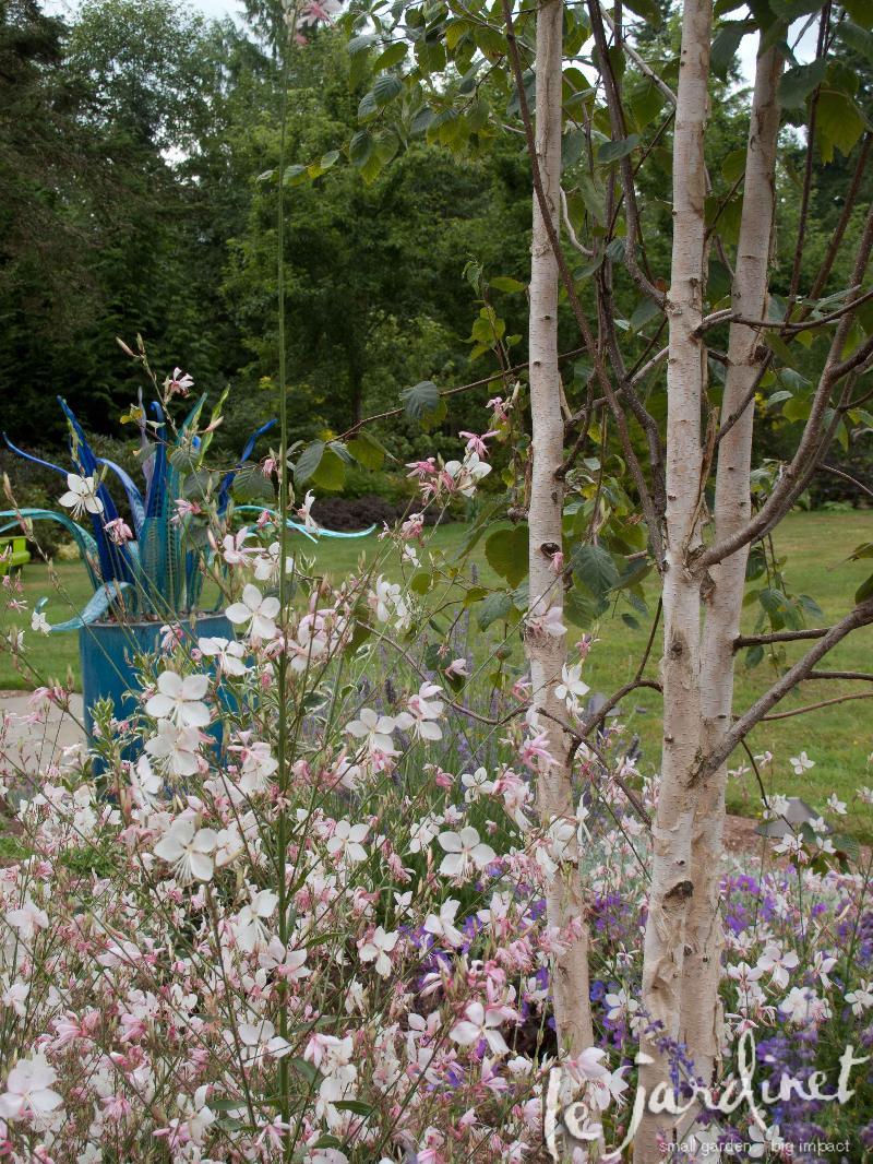 gaura and birch