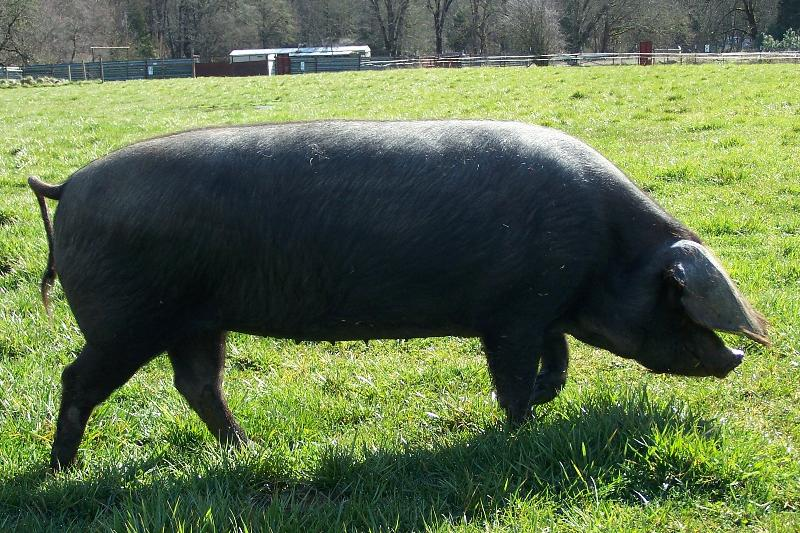 Large Black and Tamworth X Large Black weaner pigs sale ...