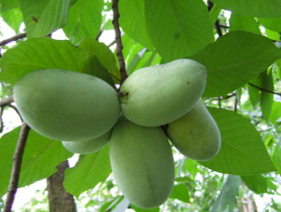 The fruits of a paw paw tree