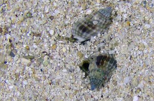 Nassarius Snails
