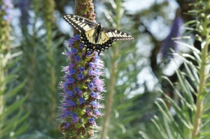 Anise Swallowtail on Echium