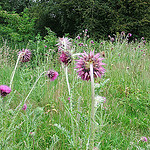 thistles from oatsy40 on flickr