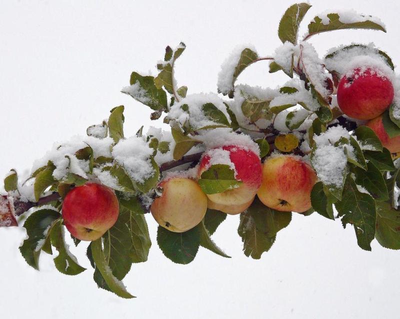 snow dusting on apple tree