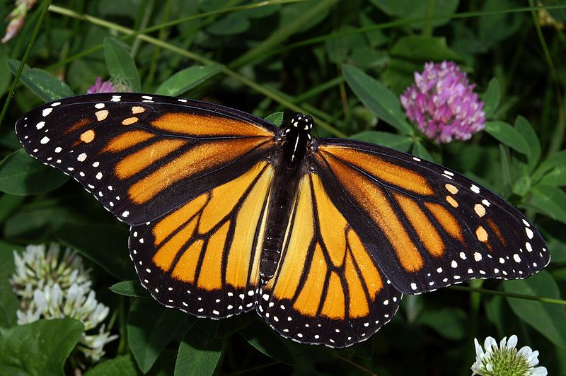 The monarch, one of the thirteen indicator species in Maine