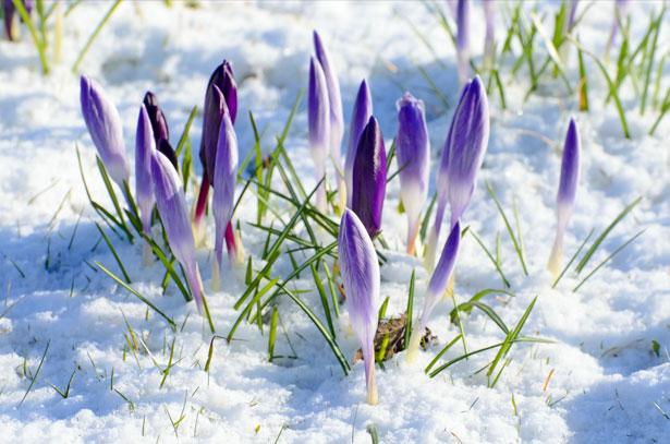 photo of flowers poking through the snow