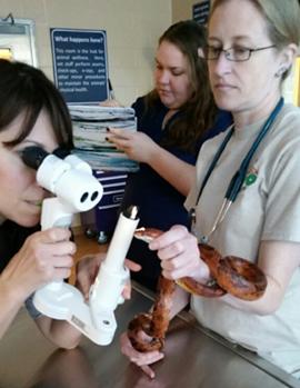 Dr. Heather examining a corn snake